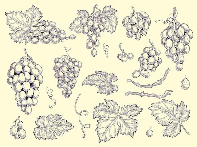 Trauben gesetzt. weinberg trauben und blätter vektor gravur grafik bilder für restaurant menü. illustration traubenwein, weinrebe mit frischem geschmack Premium Vektoren
