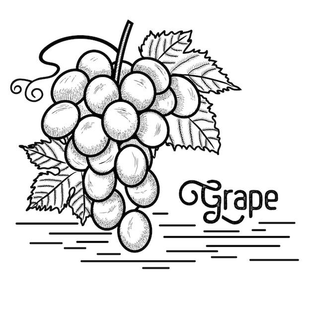 Traubenweinleseart Premium Vektoren