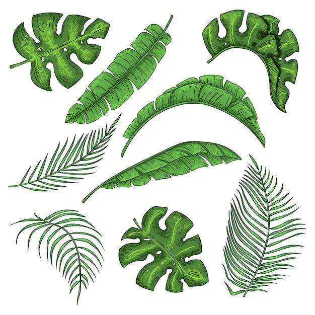 Tropische palmblätter eingestellt, dschungelbananenblattsammlung Premium Vektoren
