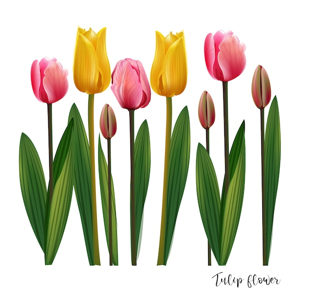 Tulpe blüht auf weißer hintergrund-, gelber und rosafarbe Premium Vektoren