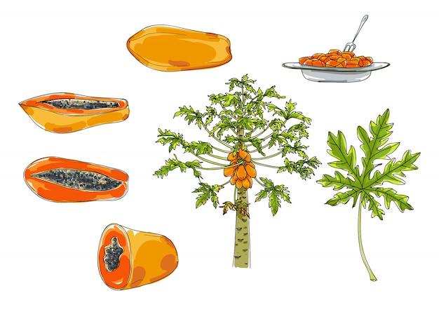 Vector papayasatz der hand gezeichneten netten illustration der kunst Premium Vektoren