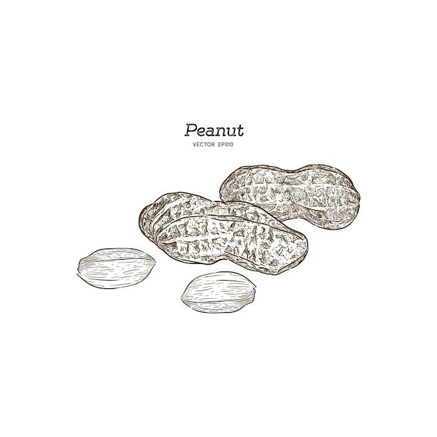 Vektorillustrationssatz von erdnüssen Premium Vektoren