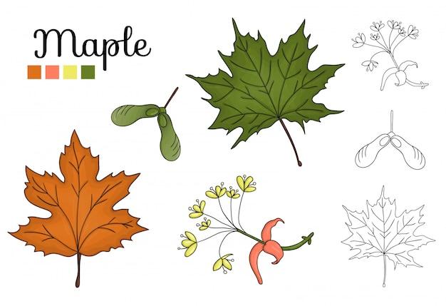 Vektorsatz ahornbaumelemente lokalisiert. botanische illustration des ahornblattes, brunch, blumen, schlüsselfrucht. schwarz-weiß-clipart Premium Vektoren