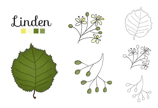 Vektorsatz lindenbaumelemente lokalisiert. botanische illustration des lindenblattes, brunch, blumen, früchte, ament, kegel. schwarz-weiß-clipart. Premium Vektoren