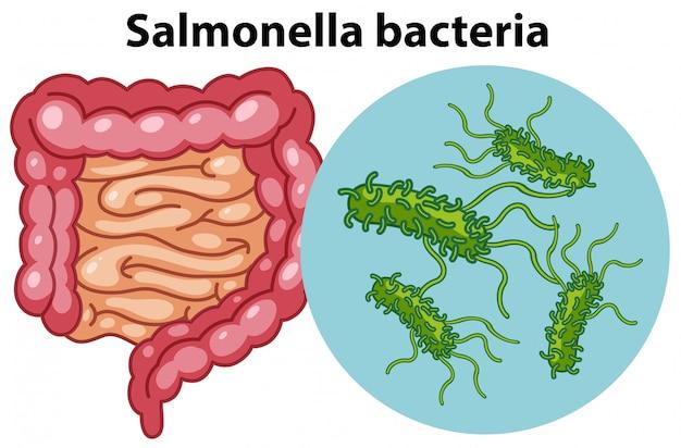 Vergrößerte zellen von salmonella-bakterien Premium Vektoren