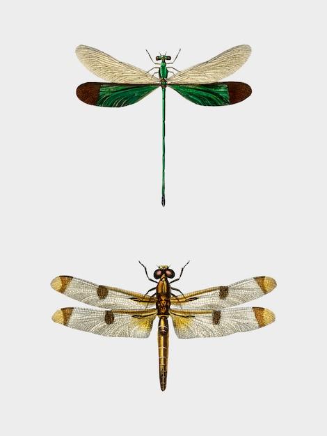 Verschiedene arten von libellen, dargestellt von charles dessalines d'orbigny (1806-1876). Kostenlosen Vektoren
