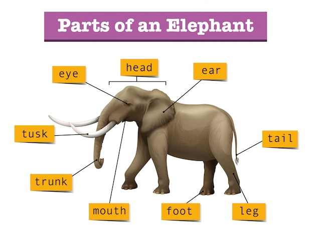 Verschiedene teile des wilden elefanten Kostenlosen Vektoren