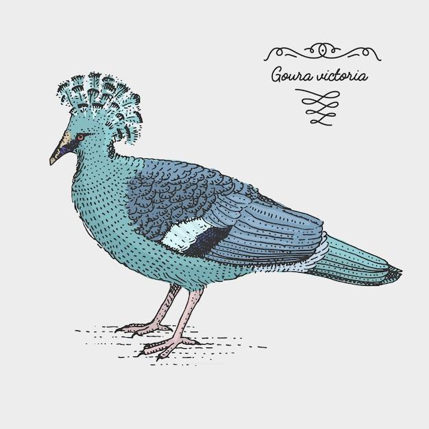 Victoria crowned pigeon graviert, handgezeichnete illustration im holzschnitt scratchboard-stil, vintage zeichnungsart. Premium Vektoren
