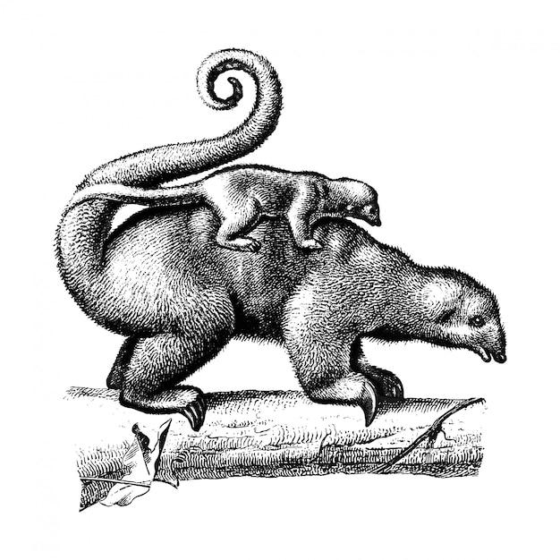 Vintage illustrationen von pygmäen-ameisenbär Kostenlosen Vektoren
