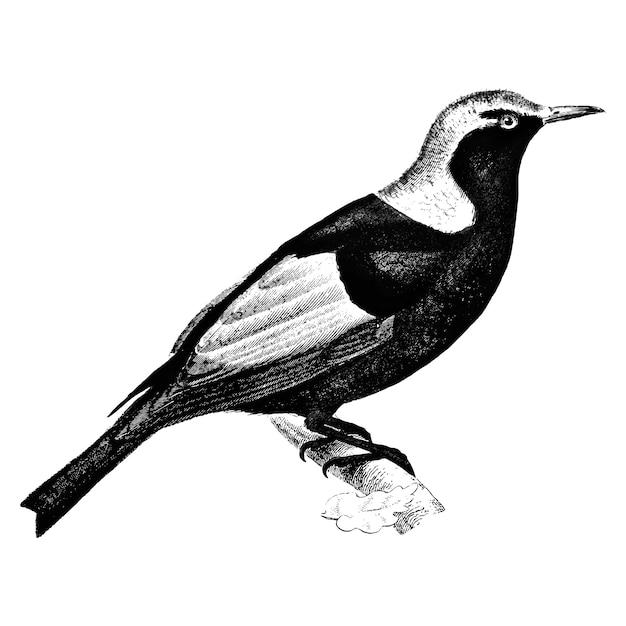 Vintage illustrationen von regent bowerbird Kostenlosen Vektoren