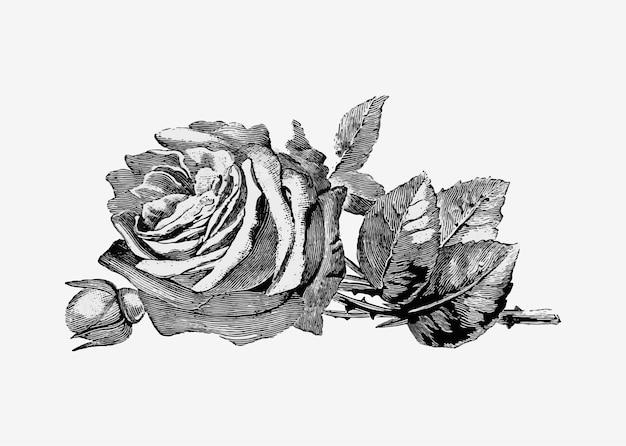 Vintage rose abbildung Kostenlosen Vektoren