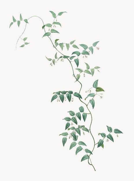 Weinlese-illustration der brautkriechpflanze Kostenlosen Vektoren