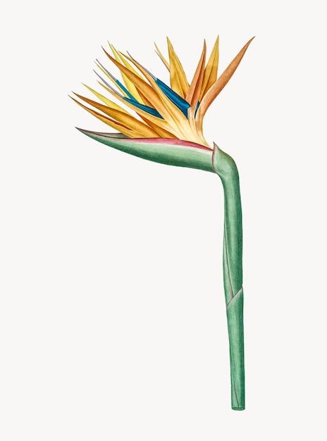Weinlese-illustration des paradiesvogels Kostenlosen Vektoren
