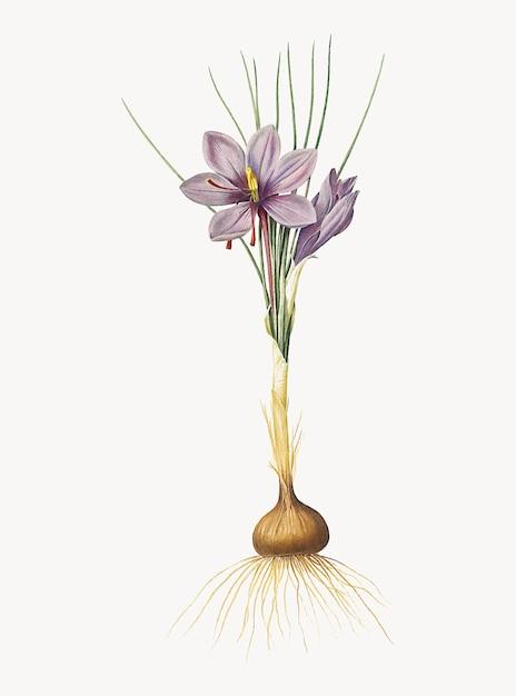 Weinlese-illustration von krokus sativus Kostenlosen Vektoren