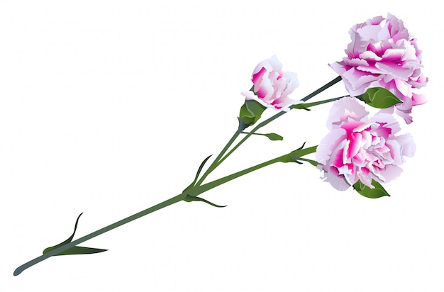 Weiße rosa gartennelkenblume auf grünem stielblumenstrauß Premium Vektoren