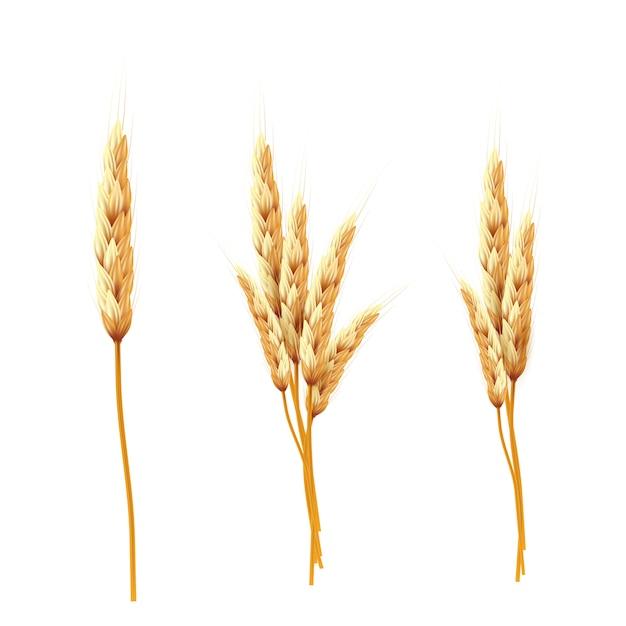 Weizen. bündel weizenähren und samen lokalisiert Premium Vektoren