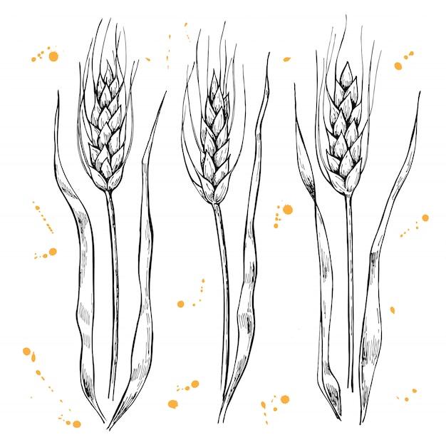 Weizenähren zeichnen Premium Vektoren
