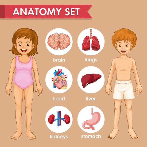 Wissenschaftliches medizinisches infographic von kinderorganen Kostenlosen Vektoren