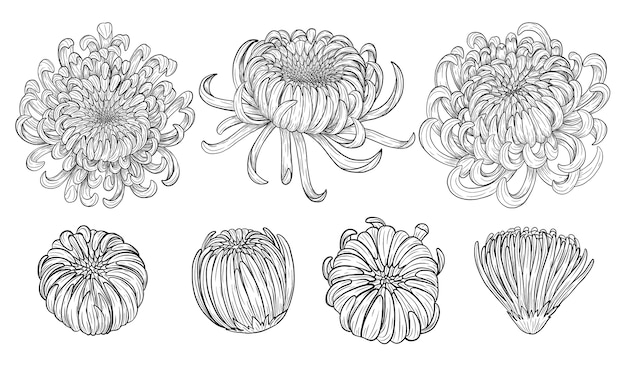 Zeichnung der chrysanthemenblume eigenhändig Premium Vektoren
