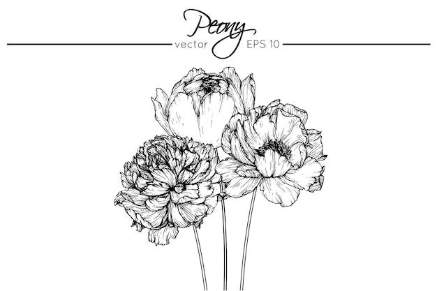 pfingstrose zeichnen blumen zeichnung, zeichnung pfingstrose blumen   download der premium vektor, Design ideen