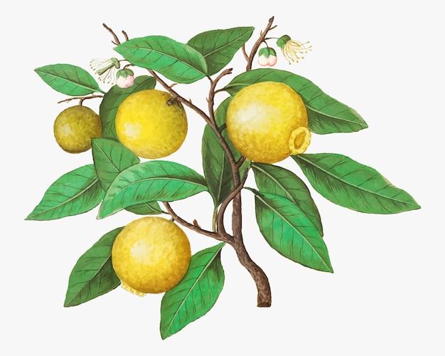 Zitrone im vintage-stil Kostenlosen Vektoren
