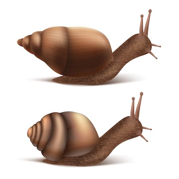 Zwei kriechende burgundische oder römische schnecken. gastropoden lokalisiert auf weißem hintergrund. Kostenlosen Vektoren