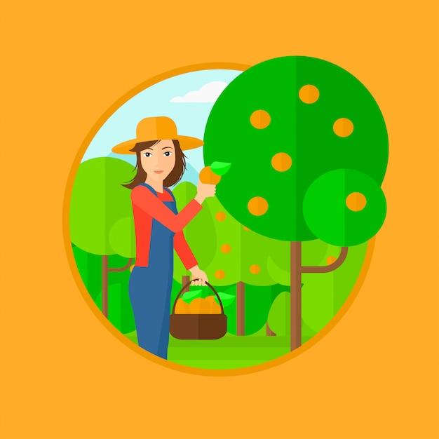 Agricultor coletando laranjas. Vetor Premium