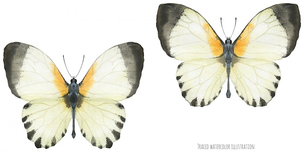 Aguarela appias borboletas Vetor Premium