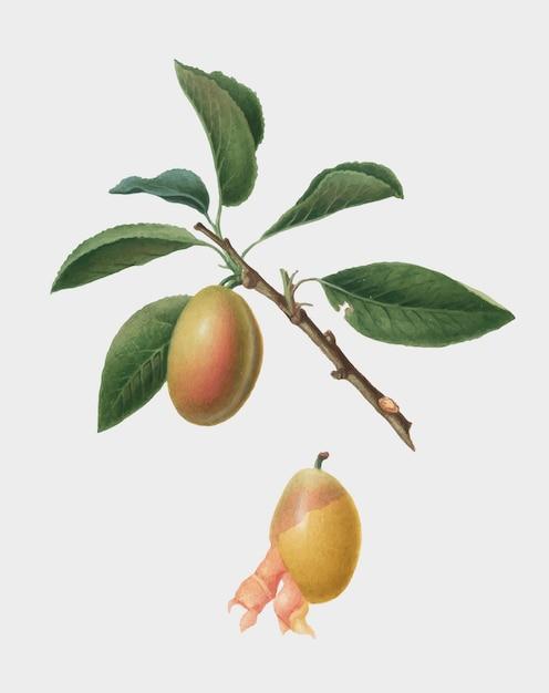Ameixa armênia da ilustração de pomona italiana Vetor grátis