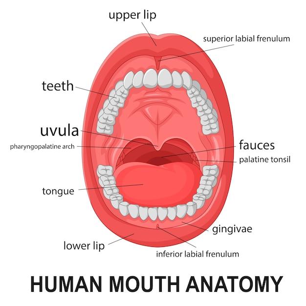 Anatomia da boca humana, boca aberta com explicação Vetor Premium