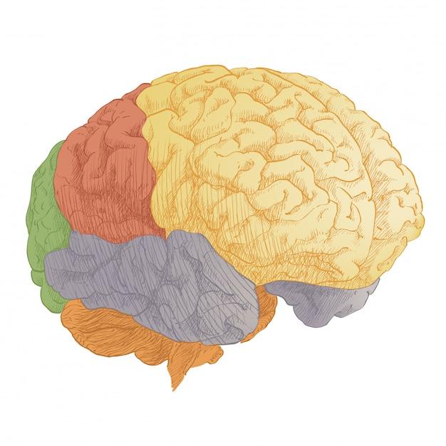 Anatomia da cabeça do cérebro humano Vetor Premium