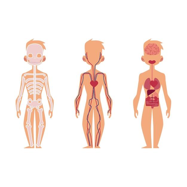 Anatomia de órgãos internos de pessoas de vetor, estrutura Vetor Premium