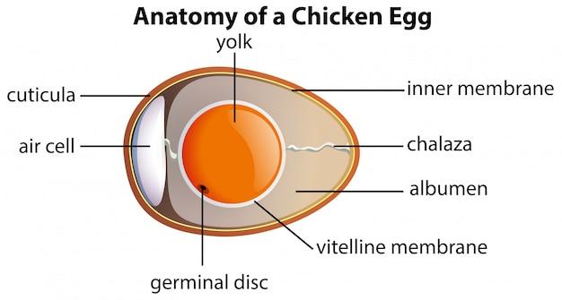Anatomia de um ovo de galinha Vetor grátis