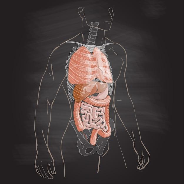Anatomia do corpo humano Vetor Premium