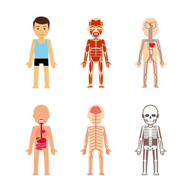 Anatomia do corpo ilustração vetorial Vetor Premium