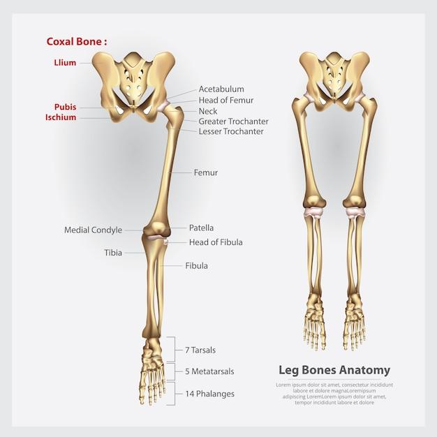 Anatomia humana da ilustração do quadril Vetor Premium