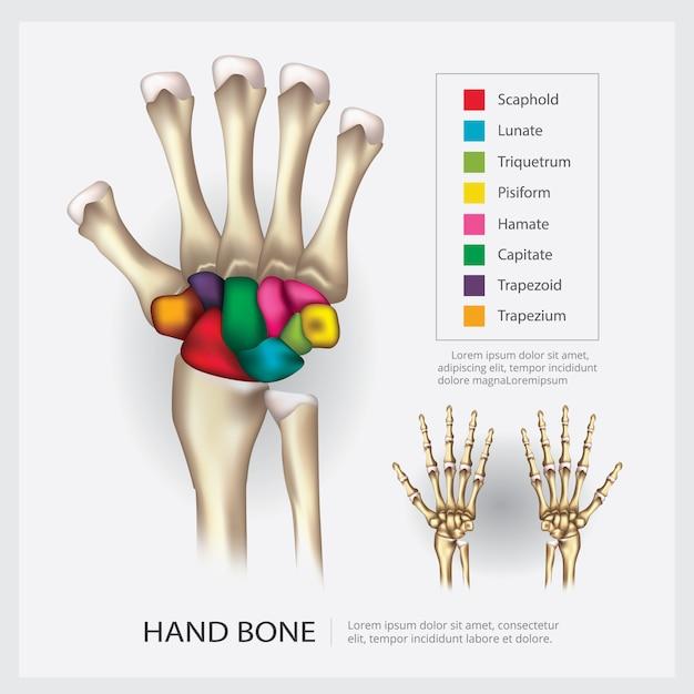 Anatomia humana mão osso ilustração vetorial Vetor Premium