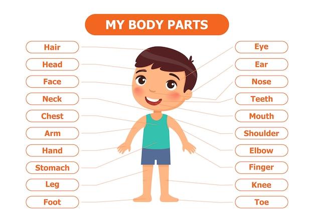 Anatomia para crianças. Vetor Premium