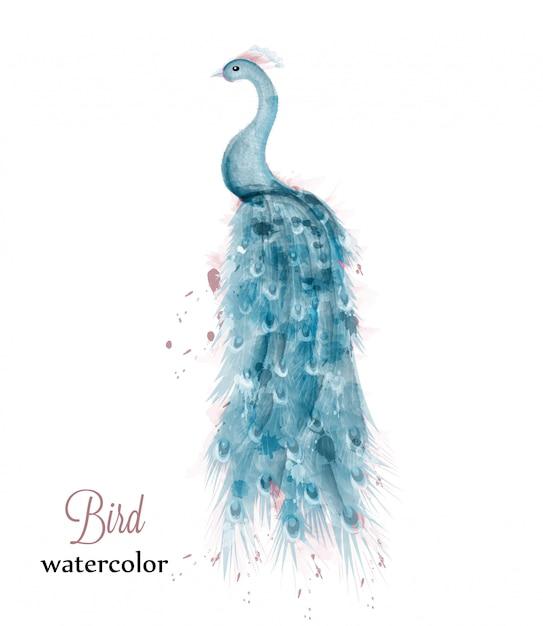 Aquarela de pavão azul Vetor Premium