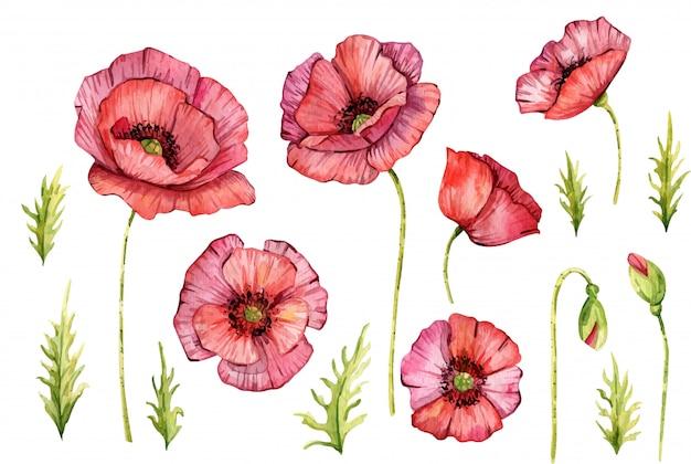 Aquarela flores papoulas. isolado. ilustração de pintados à mão. flores vermelhas Vetor Premium
