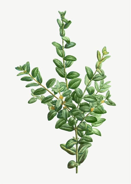 Arbusto de buxo Vetor grátis