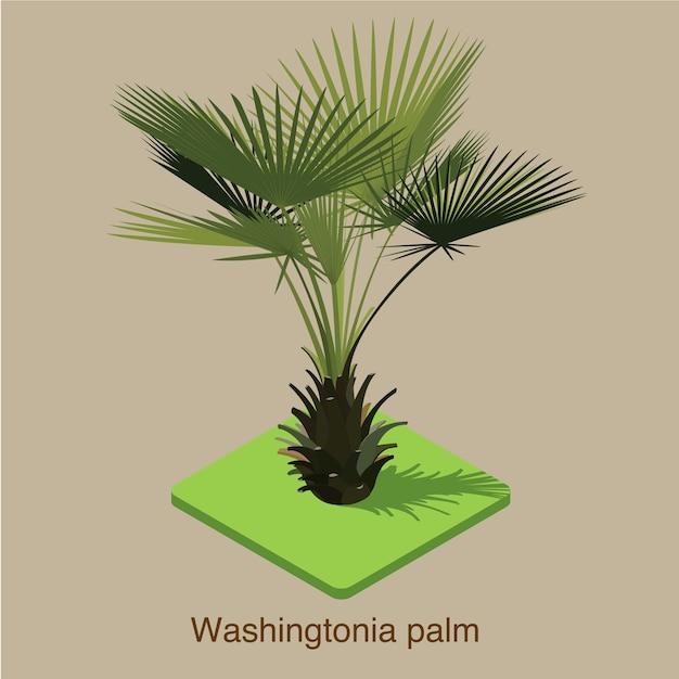 Arte isométrica do vetor 3d da palmeira de washingtonia. Vetor Premium