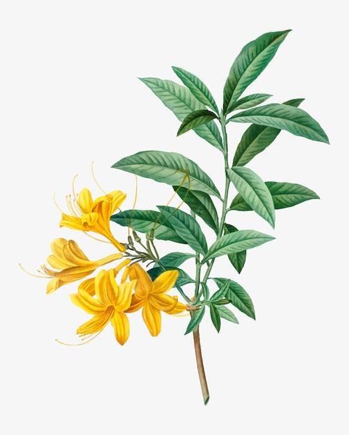 Azálea amarela de florescência Vetor grátis
