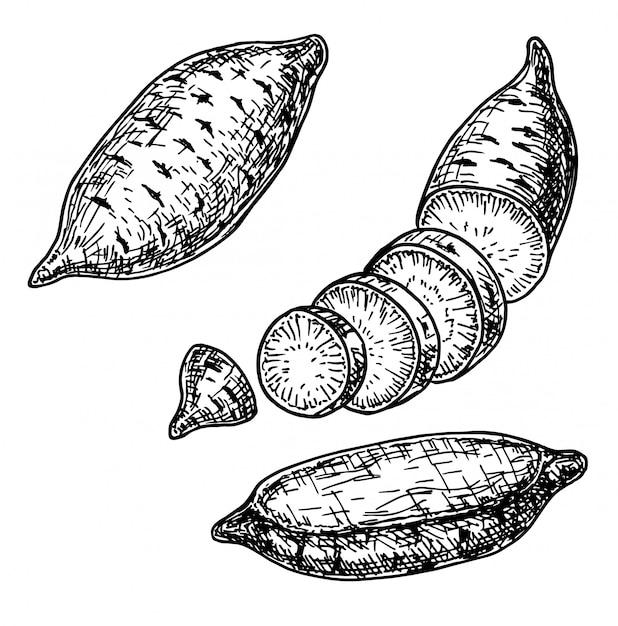 Batata-doce mão ilustrações desenhadas. objeto de estilo gravado vegetal. desenho de comida vegetariana detalhada. produto do mercado agrícola. legumes para cozinha. Vetor Premium