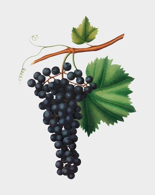 Berzemina grape from pomona italiana illustration Vetor grátis