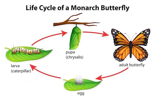 Borboleta monarca Vetor Premium