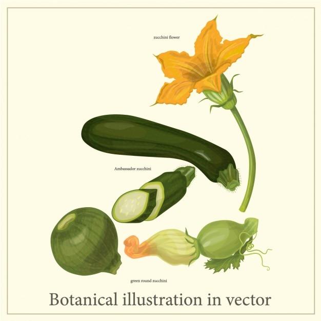 Botanical zucchini ilustração Vetor grátis