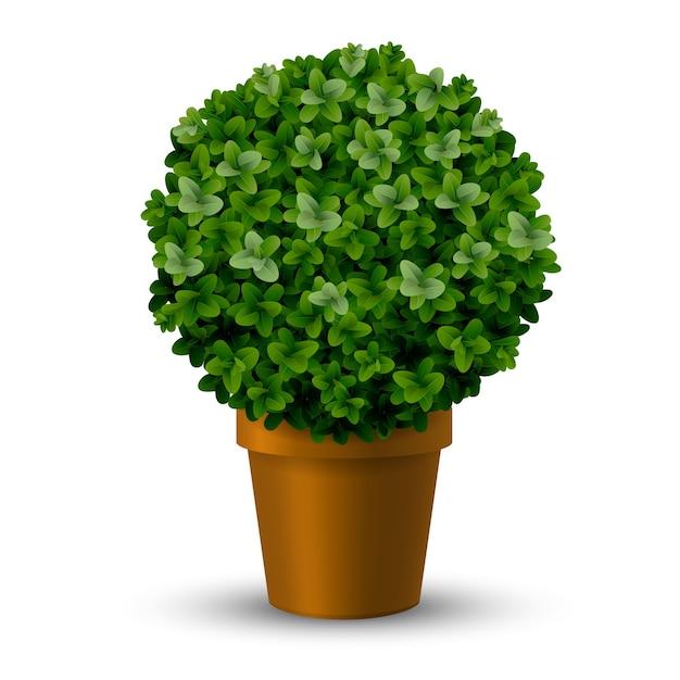 Buxo de aparar esférico decorativo em uma panela. jardim ornamental de plantas topiárias. Vetor Premium