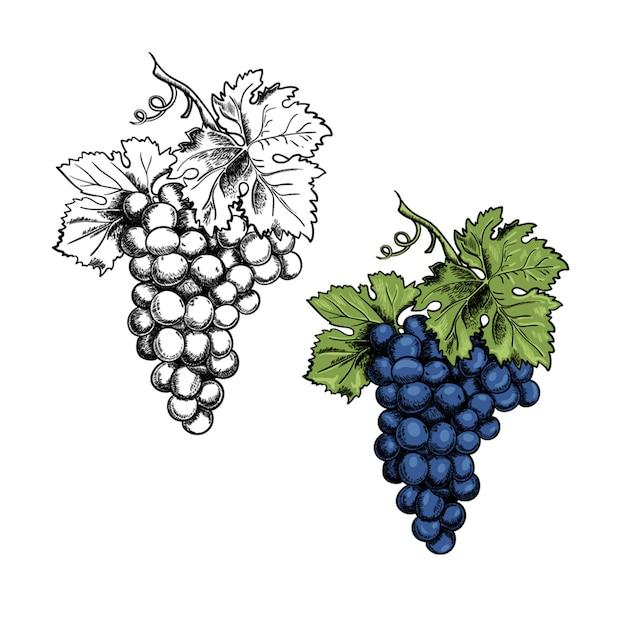 Cachos e folhas de uvas Vetor Premium