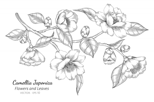 Camellia japonica flor e folha desenho ilustração Vetor Premium